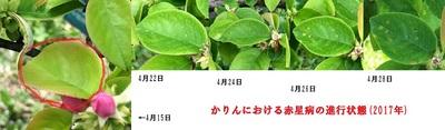 かりんにおける赤星病進行状況 sml.jpg